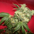 White_Widow_(Green_House_Seeds)_growmart