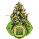 royal queen seed diesel automatic