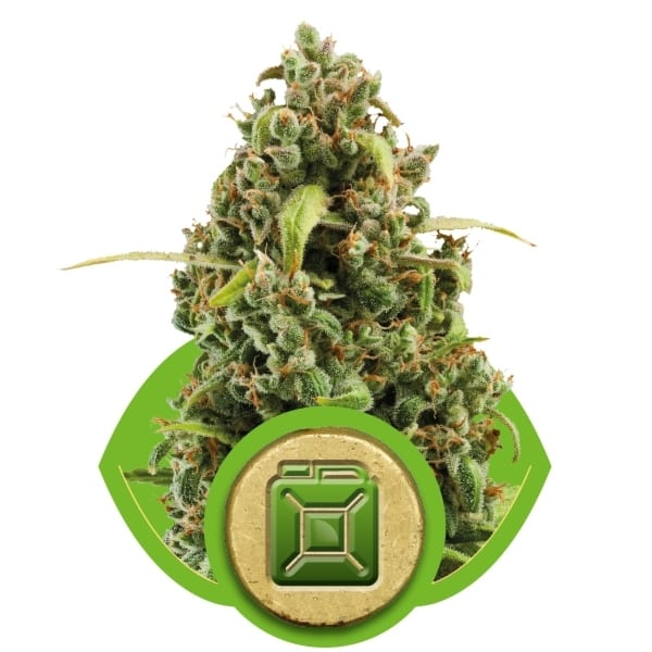 Diesel Royal Queen Seeds Autofem (Samonakvétací) 3 kusy