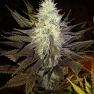 seminka-konopi-growmart-dinafem-blue-widow