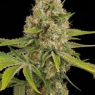 growmart-og-kush-dinafem-seeds