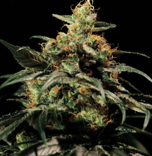 Kings Kush Green House Seeds Feminizované 10 kusů