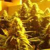 power-plant-seminka-cannabis7