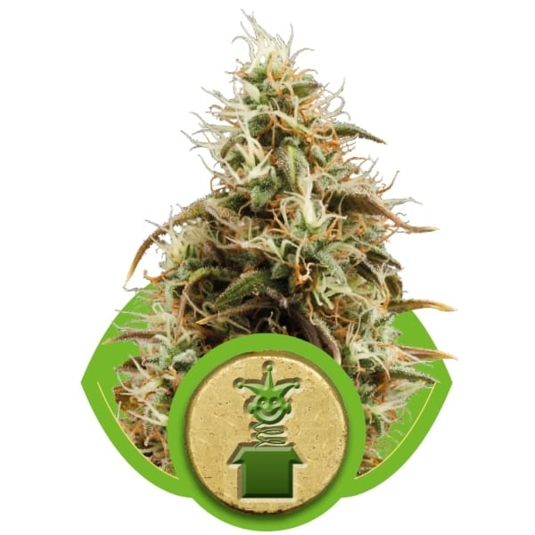 Jack Herer Royal Queen Seeds Autofem (Samonakvétací) 10 kusů