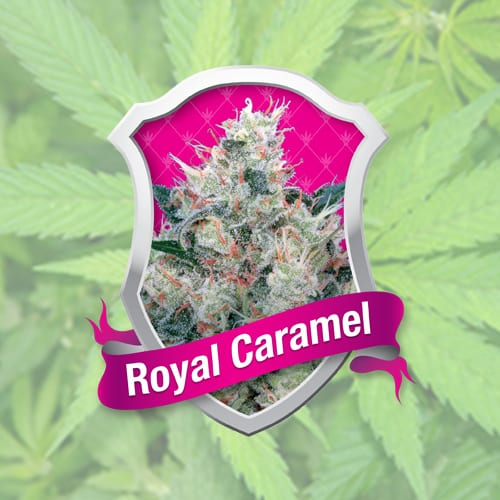 Royal Caramel Royal Queen Seeds Feminizované 10 kusů