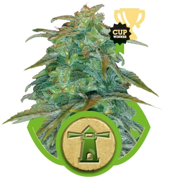Royal Haze Royal Queen Seeds Autofem (Samonakvétací) 3 kusy