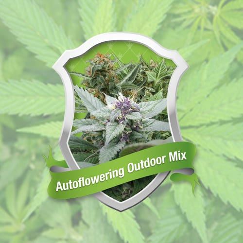 Autoflowering outdoor mix Royal Queen Autofem (Samonakvétací) 10 kusů
