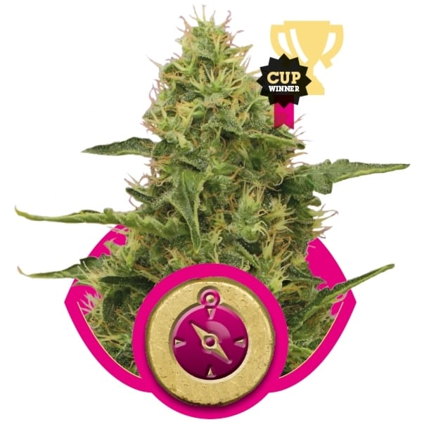 Northern Light Royal Queen Seeds Feminizované 10 kusů