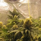 big-bud-sensis-seeds-2