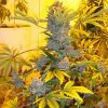 Bubbleliciou – growmart