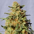 kannabia-white-domina-semena-growmart