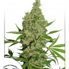 White-Widow-The-Ultimate-Dutch-Passion
