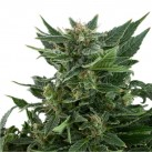 royal-kush-automatic-growmart-semínka