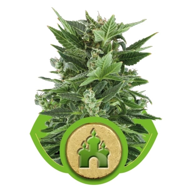 Royal Kush Automatic Royal Queen Seeds Autofem (Samonakvétací) 5 kusů