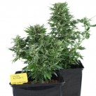 royal-kush-automatic-semena-growmart
