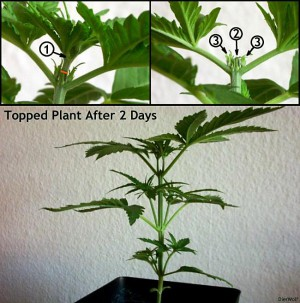 topping-marijuana-navod-growmart