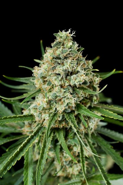 critical+2-growshop-growmart