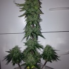 blue-amnesia-xxl-auto-growmart