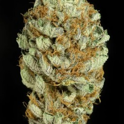 blue-kush-growmart