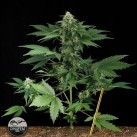 moby-dick-xxl-auto-growmart
