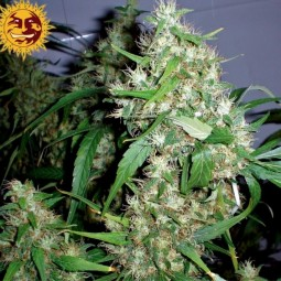 Critical-Rapido-Auto-Barneys-Farm-growshop-growmart