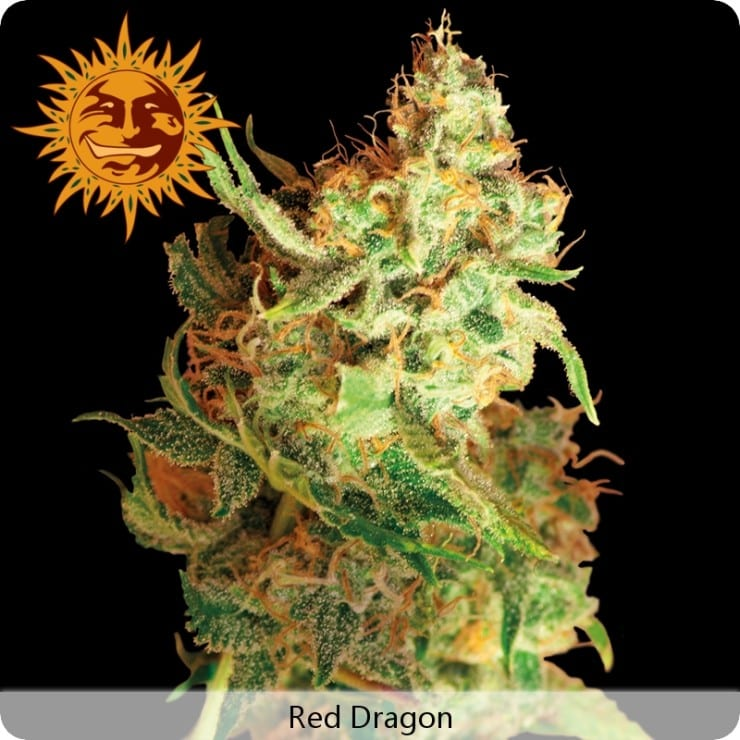 Red Dragon Barneys Farm Feminizované 10 kusů