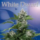 White-Dwarf-Buddha-Seeds-Growshop-Growmart