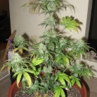 White-Dwarf-Growshop-growmart