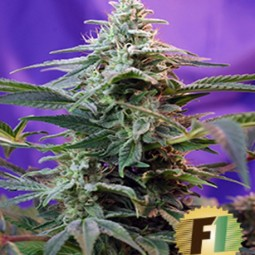 cream-caramel-fast-version-feminizovana-semena-10ks-sweet-seeds-growshop-growmart