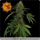 critical-rapido-autoflower-growshop-growmart