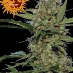 growmart-laughing-buddha