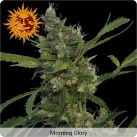 growmart-morning-glory