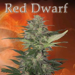 red-dwarf-autoflower-growshop-growmart