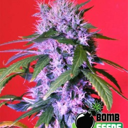 Berry-Bomb-semena-konopi-growmart