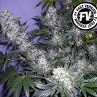 Black-Jack-Fast-Version-Sweet-seeds-Growshop-Growmart