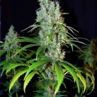 Diamond-Head-Sagarmatha-Seeds-Growshop-Growmart