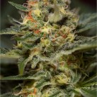 Jack-47-Fast-V-Sweet-Seeds-Growshop-Growmart