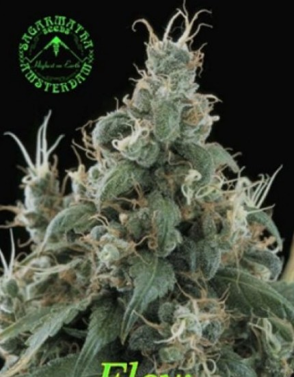 Sagarmatha-Seeds-Flow-growshop-growmart