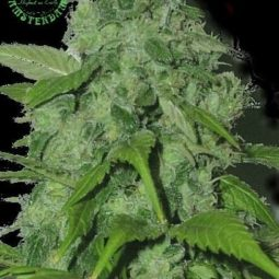 Sagarmatha-Seeds-Peak-19-regulerni-semena-growmart