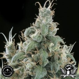 Sagarmatha-Seeds-diamond-head-Growmart
