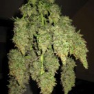 Strawberry-Diesel-Growshop-Growmart-Sagaramatha