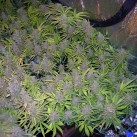 Sweet-Seeds-Sweet-Afghani-Delicious-Fast-Version-Growshop-Growmart
