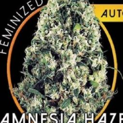 growmart-amnesia-haze