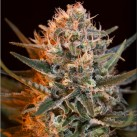 black-jack-fast-version-feminizovana-semena-5-ks-sweet-seeds-growshop-growmart