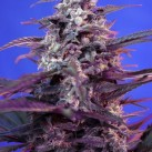 bloody-skunk-sweet-seeds-growshop-growmart