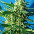 ice-cool-auto-sweet-seeds-growmart