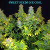 ice-cool-feminizovan-semnka-10-ks-sweet-seeds-3