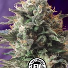 jack-47-f1-fast-version-sweet-seeds-growshop-growmart