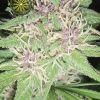 growmart-jack-herer