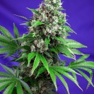 killer-kush-f1-sweet-seeds-growshop-growmart